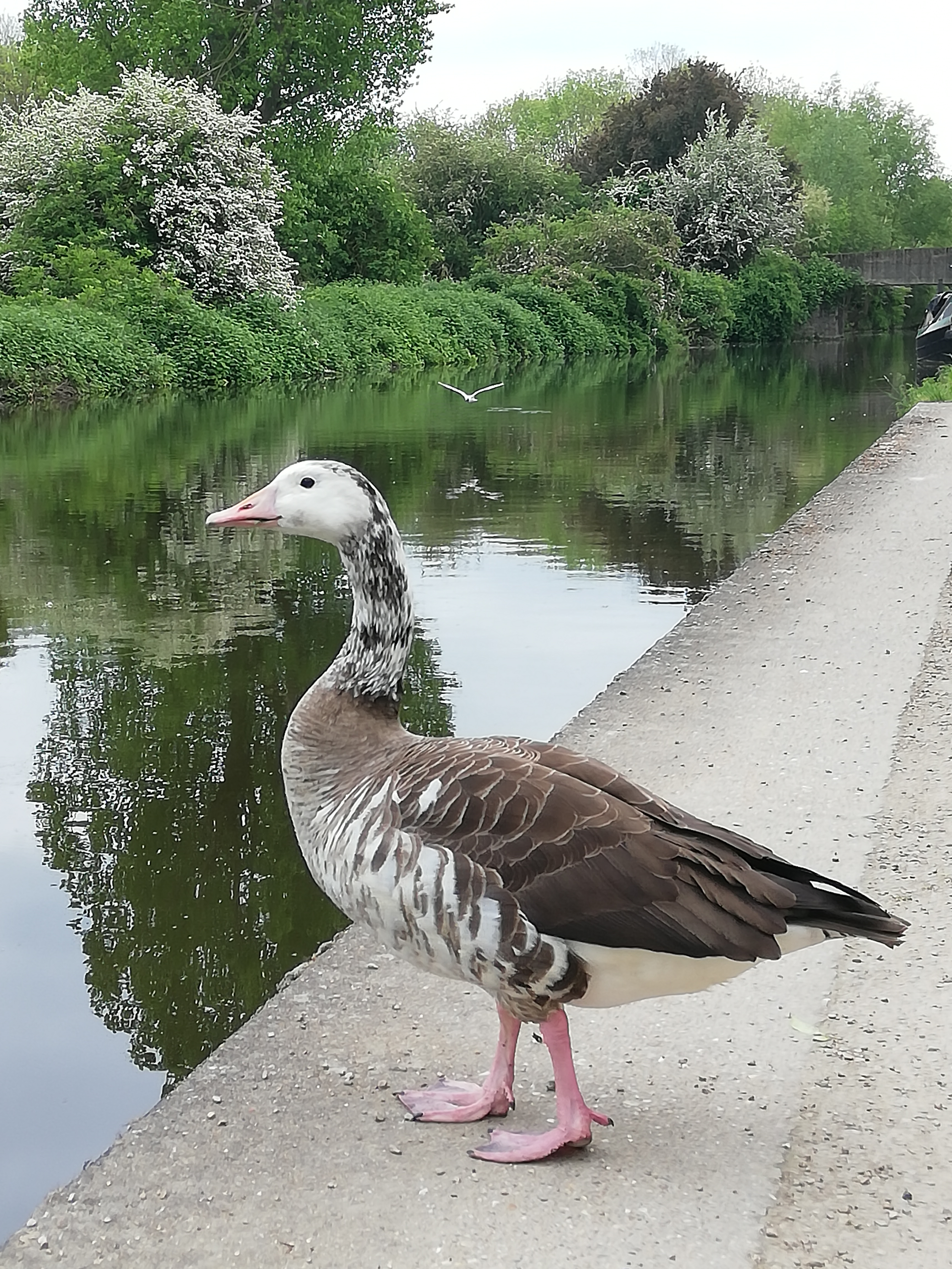 A unusually coloured Goose (White and Brown splattered) stood on the side of the canal