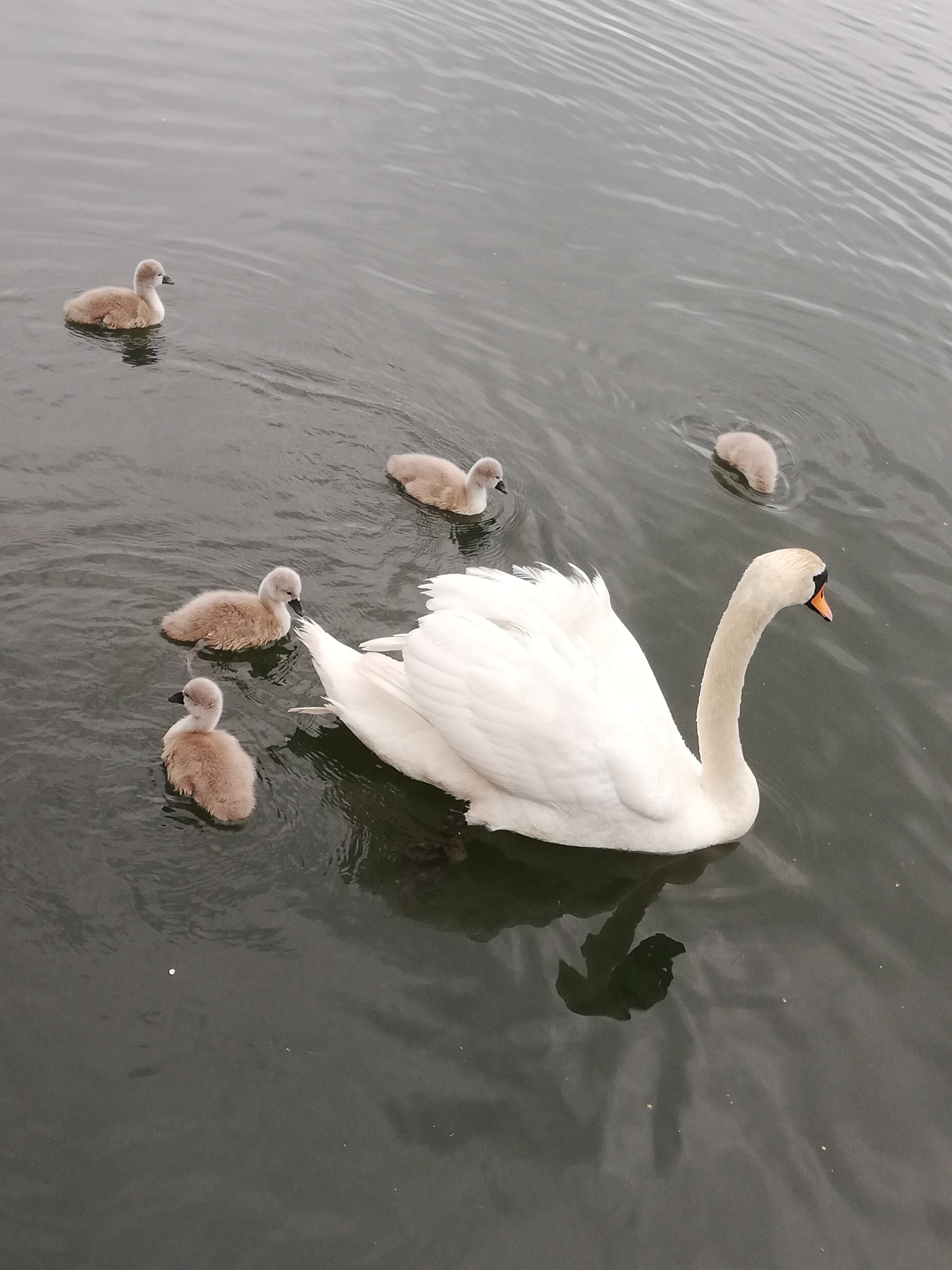A Beautiful swan with her babies (Cignets) swimming on the lake