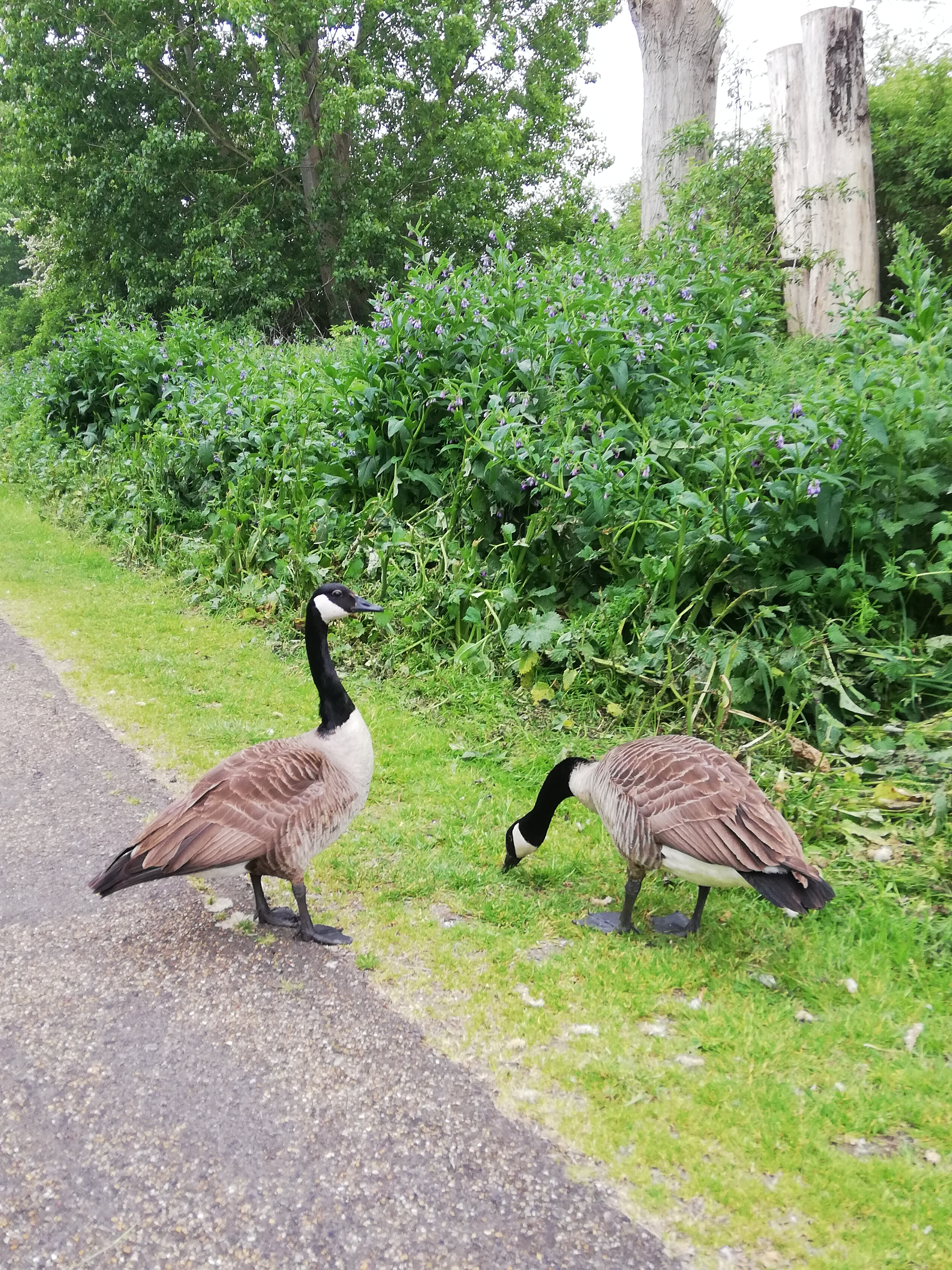 Two Geese stood on the grass of the road side