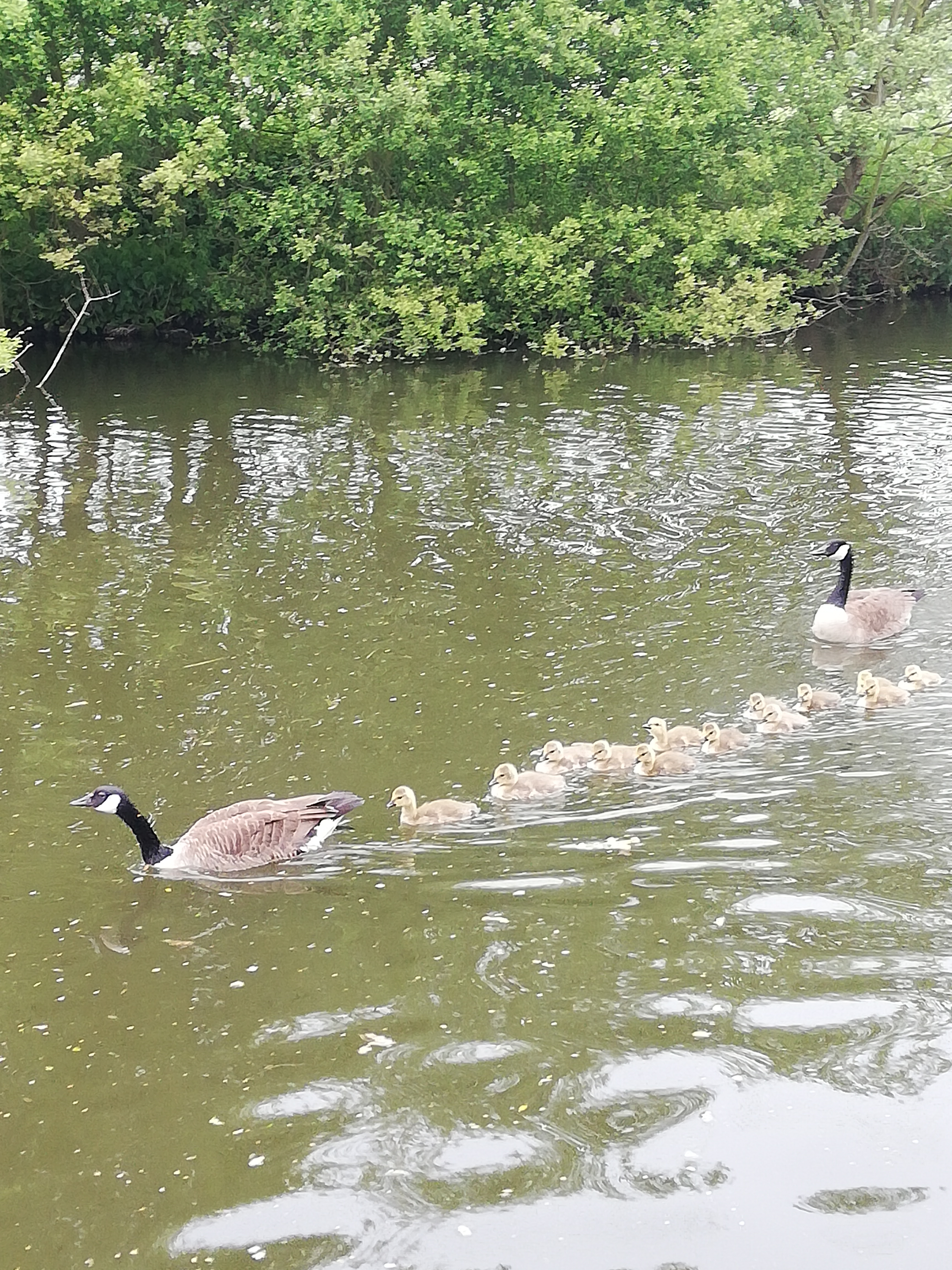 A pair of Geese swimming on the water with lots of goslings (Baby Geese) swimming in a line